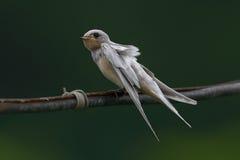Albino Barn Swallow Juvenile Royalty Free Stock Photos