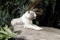 Albino Bengal Tiger lizenzfreie stockbilder