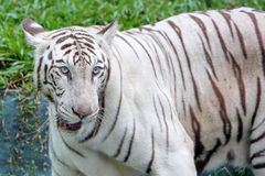 Albino Bengal Tiger. Big cat at the zoo outdoor daylight royalty free stock photography