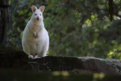 Albino Bennet kangaroo Royalty Free Stock Images