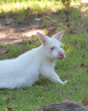Albino Bennett s Wallaby Stock Images