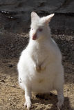 Albino, Bennett's wallaby, Macropus rufogriseus Stock Photos