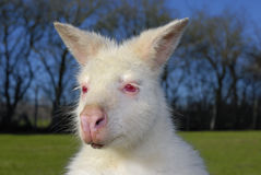 Albino Bennetts Wallaby Lizenzfreie Stockfotos