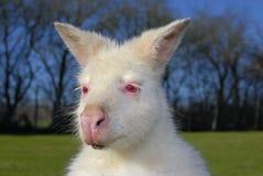 Albino Bennetts Wallaby lizenzfreie stockfotos