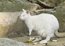 Albino bennetts wallaby Royalty Free Stock Photos