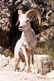 Albino Bighorn Ram Sheep stock photography