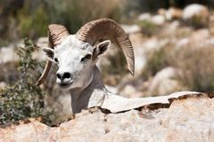 Albino Bighorn Ram Sheep Royalty Free Stock Images