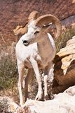 Albino Bighorn Ram Sheep Stock Photo