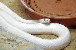 Albino Black Rat Snake Coiled på sand Arkivbilder