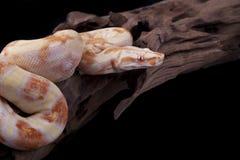 albino boa δάσος κομματιού σφιγκ& στοκ φωτογραφία με δικαίωμα ελεύθερης χρήσης