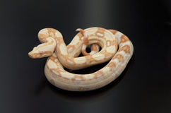 albino boa σφιγκτήρας Στοκ Εικόνα