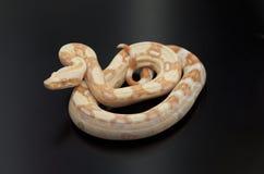 Albino-Boa constrictor stockbild