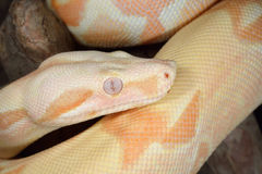 Albino Boa Constrictor Royalty Free Stock Images