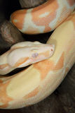 Albino Boa Constrictor Royalty Free Stock Photos