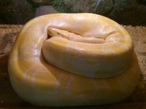 Albino boa. Constrictor curled up and resting kolachikom Stock Photos