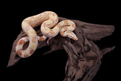 Albino Boa constrictor on a piece of wood. On a black background Royalty Free Stock Images
