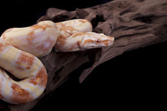 Albino Boa constrictor on a piece of wood. On a black background Royalty Free Stock Photography