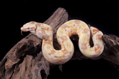 Albino Boa constrictor on a piece of wood. On a black background Stock Image