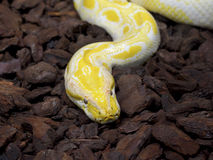 Albino Boa Constrictor Portrait, africa Stock Photography