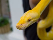 The Albino boa constrictor snake is a member of the family Boidae, found in tropical North, Central, and South America. Albino boa constrictor snake is a member royalty free stock photos