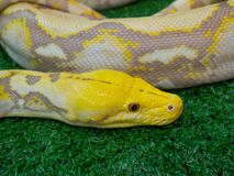 The Albino boa constrictor snake is a member of the family Boidae, found in tropical North, Central, and South America. Albino boa constrictor snake is a member stock photo
