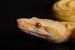 Albino Boa Portrait stockfotos