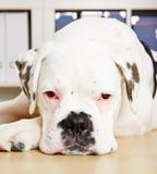 Albino boxer dog looking sad Stock Image