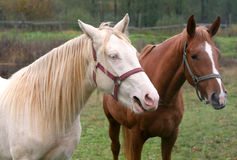 Albino and brown horse Stock Photo