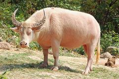Albino buffalo. An albino water buffalo suffering in the sun Royalty Free Stock Images