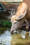 Albino buffalo Asia drinking water in pond Stock Images