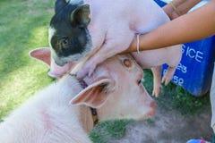 Albino buffalo and cute little pig Stock Image