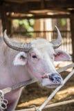 Albino buffalo Stock Image