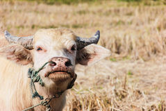 Albino buffalo. Royalty Free Stock Photo