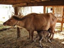 Albino buffalo,taro buffalo. Chiang rai Royalty Free Stock Photography