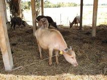 Albino buffalo,taro buffalo. Chiang rai Royalty Free Stock Image