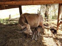 Albino buffalo,taro buffalo. Chiang rai Stock Photo