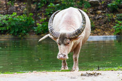 Albino buffalo Stock Photography