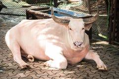 Albino  buffalo. Royalty Free Stock Image