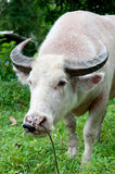 Albino buffalo (white buffalo) looking to camera Royalty Free Stock Photography