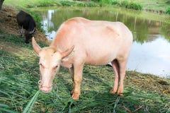 Albino buffalo Stock Photos