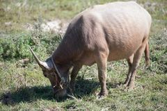 Albino buffalo. Or White Buffalo in rice field.And little buffalo royalty free stock image