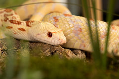 Albino bullsnake Stock Photography