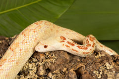Albino bullsnake Royalty Free Stock Photo