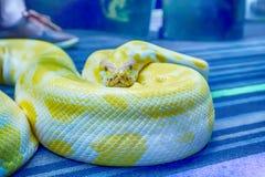 Albino Burmese Python immagine stock