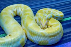 Albino Burmese Python fotografie stock libere da diritti