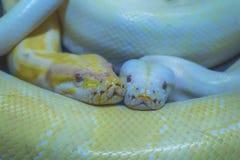 Albino Burmese Python fotografia stock