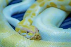 Albino Burmese Python immagine stock libera da diritti