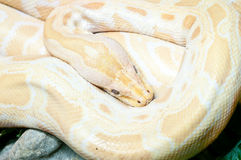 Albino burmese python. In Dusit Zoo Stock Photo