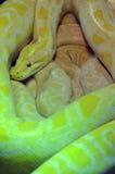 Albino burmese python Stock Image