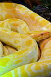 Albino burmese python. A large coiled albino burmese python. A feral species in places like the everglades which is out competing many other species, and has stock photos